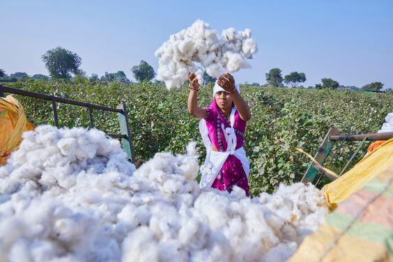Quá trình trồng trọt và sản xuất Organic Cotton không sử dụng bất kỳ hóa chất gây hại nào